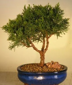 Servi çam bonsai japon ağacı bitkisi  Malatya çiçekçi mağazası