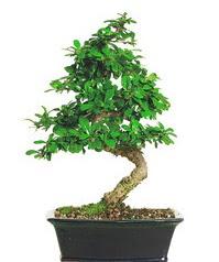 Bonsai bitkisi satışı  Malatya internetten çiçek satışı