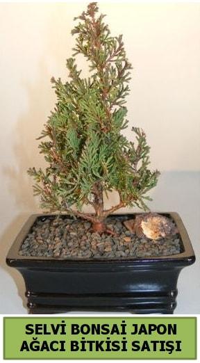 Selvi çam japon ağacı bitkisi bonsai  Malatya internetten çiçek satışı