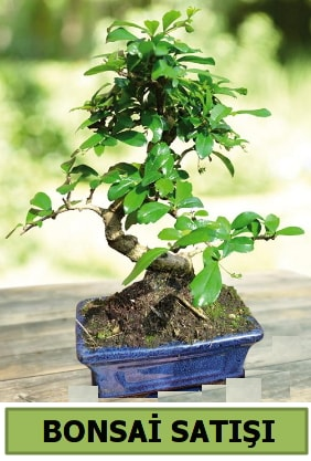 Çam bonsai japon ağacı satışı  Malatya çiçekçiler