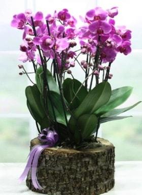 Kütük içerisinde 6 dallı mor orkide  Malatya çiçek siparişi vermek