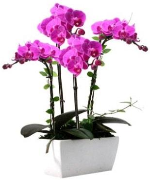 Seramik vazo içerisinde 4 dallı mor orkide  Malatya çiçekçiler