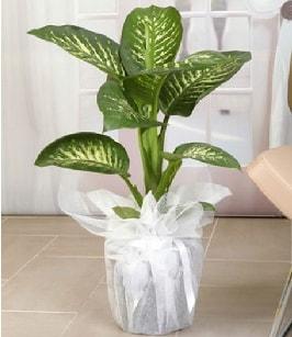 Tropik saksı çiçeği bitkisi  Malatya çiçekçiler