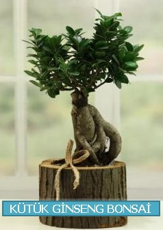Kütük ağaç içerisinde ginseng bonsai  Malatya hediye çiçek yolla