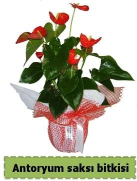 Antoryum saksı bitkisi satışı  Malatya internetten çiçek siparişi