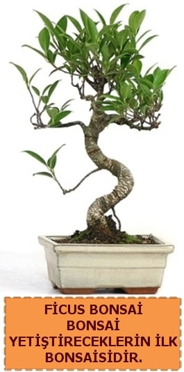 Ficus bonsai 15 ile 25 cm arasındadır  Malatya çiçekçi mağazası