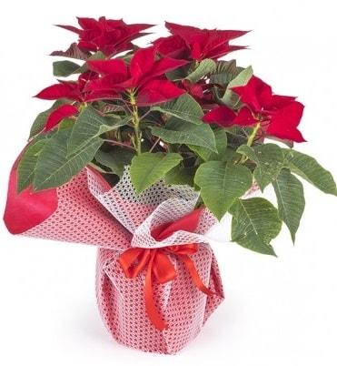 Atatürk çiçeği saksı bitkisi  Malatya hediye çiçek yolla