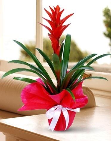 Guzmanya Saksı Çiçeği  Malatya çiçekçi mağazası