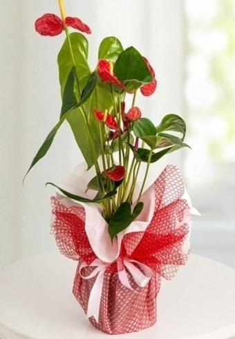 Anthurium Saksı Çiçeği  Malatya online çiçek gönderme sipariş