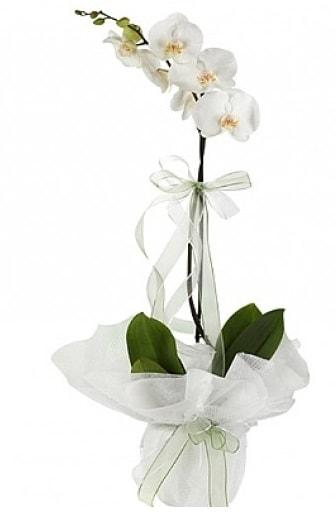 Tekli Beyaz Orkide  Malatya online çiçek gönderme sipariş