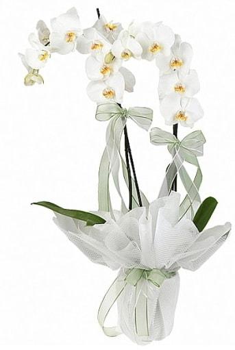Çift Dallı Beyaz Orkide  Malatya yurtiçi ve yurtdışı çiçek siparişi