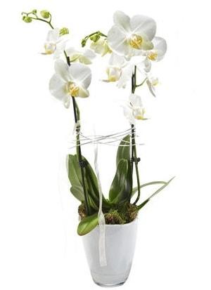 2 dallı beyaz seramik beyaz orkide saksısı  Malatya hediye çiçek yolla
