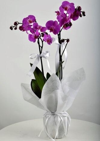 Çift dallı saksıda mor orkide çiçeği  Malatya hediye sevgilime hediye çiçek