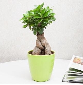 Ficus Ginseng Bonsai  Malatya güvenli kaliteli hızlı çiçek
