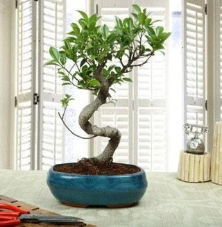 Amazing Bonsai Ficus S İthal  Malatya anneler günü çiçek yolla