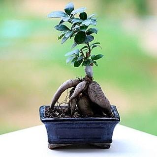 Marvellous Ficus Microcarpa ginseng bonsai  Malatya hediye sevgilime hediye çiçek