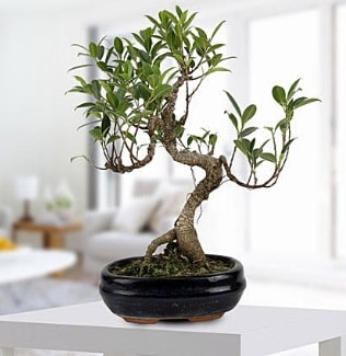 Gorgeous Ficus S shaped japon bonsai  Malatya çiçekçi telefonları