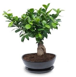Ginseng bonsai ağacı özel ithal ürün  Malatya uluslararası çiçek gönderme