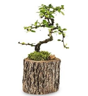 Doğal kütükte S bonsai ağacı  Malatya çiçekçiler