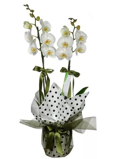 Çift Dallı Beyaz Orkide  Malatya güvenli kaliteli hızlı çiçek