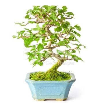 S zerkova bonsai kısa süreliğine  Malatya ucuz çiçek gönder