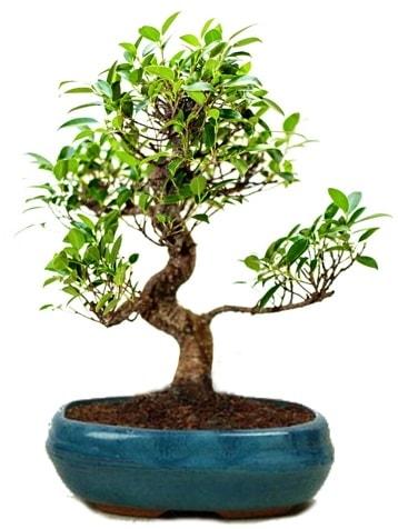 25 cm ile 30 cm aralığında Ficus S bonsai  Malatya hediye çiçek yolla