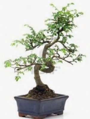 S gövde bonsai minyatür ağaç japon ağacı  Malatya çiçekçiler