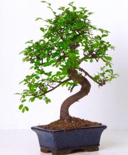 S gövdeli bonsai minyatür ağaç japon ağacı  Malatya hediye çiçek yolla