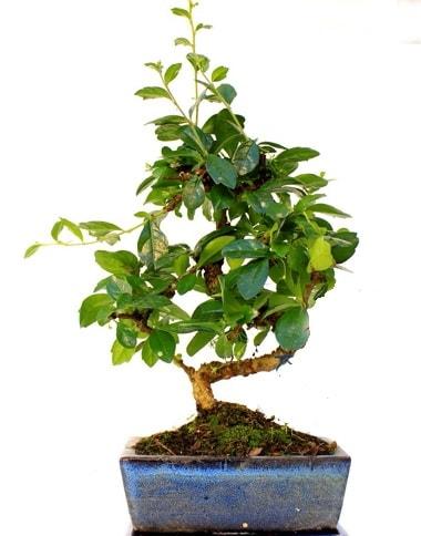 S gövdeli carmina bonsai ağacı  Malatya çiçekçi mağazası  Minyatür ağaç
