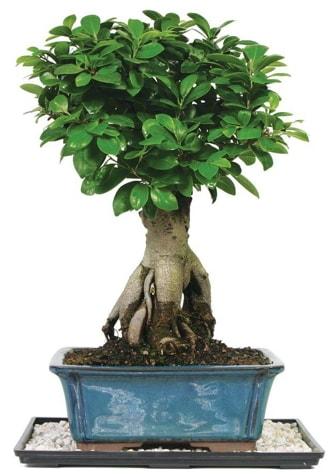 Bonsai Ginsing Grafted Ficus Bonsai  Malatya çiçekçi mağazası