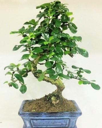 Zelkova S gövdeli Minyatür ağaç Bonzai  Malatya çiçek siparişi sitesi