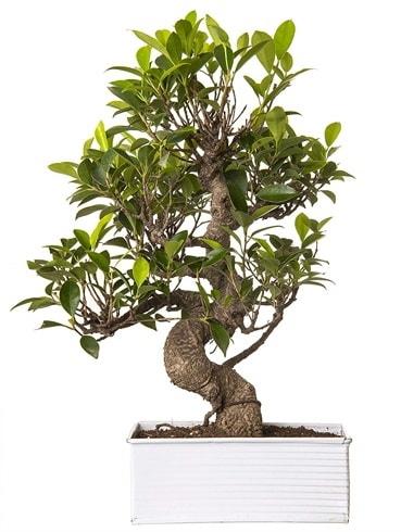 Exotic Green S Gövde 6 Year Ficus Bonsai  Malatya hediye çiçek yolla