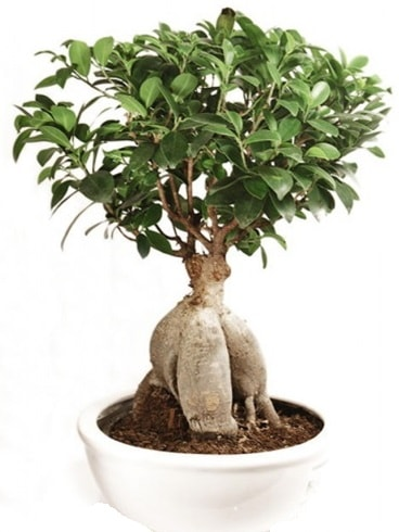 Ginseng bonsai japon ağacı ficus ginseng  Malatya ucuz çiçek gönder
